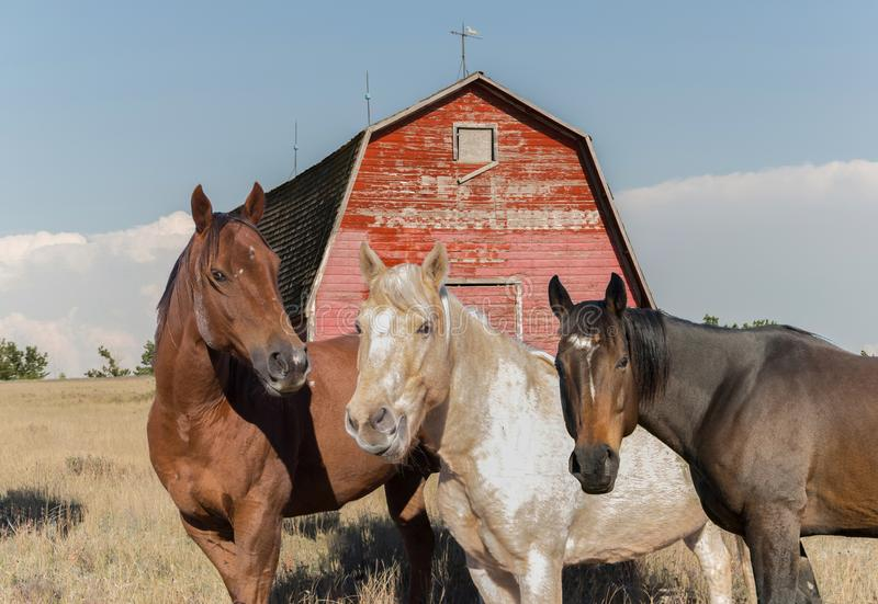 three-horses-standing-front-old-barn-three-horses-standing-front-old-barn-red-peeling-paint-105203814