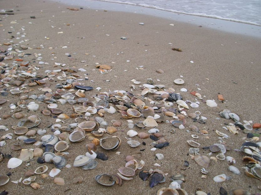1200px-Conchiglie_Seashells_01.jpg